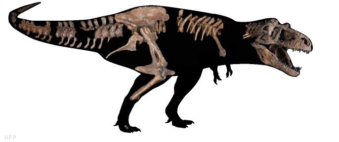 Az Alberta Egyetem által kiadott képen a Scotty becenevű Tyrannosaurus rex részleges csontváza látható.