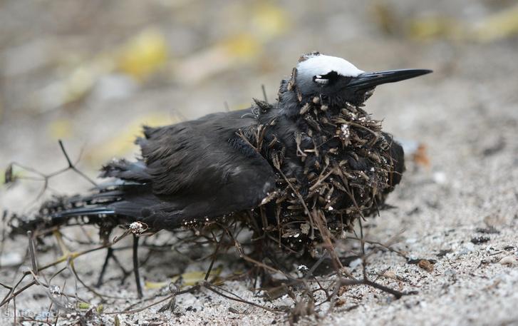 Fekete noddi madár a Pisonia fa terméseivel borítva