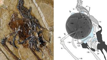 Tojással a hasában kövesedett meg egy 110 millió éve élt madár