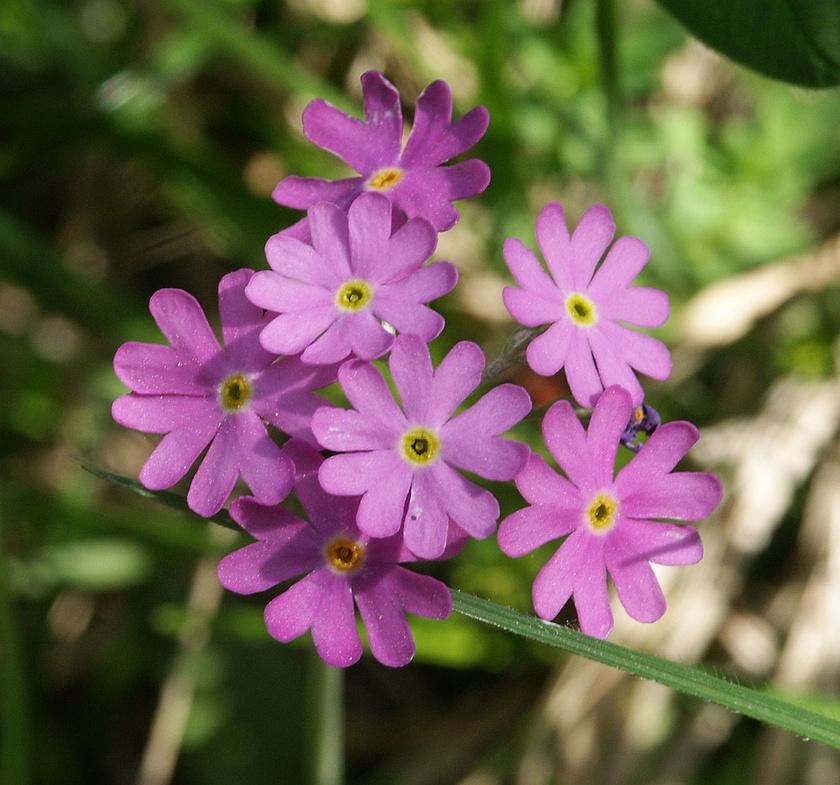 A lisztes kankalin fokozottan védett, mészkedvelő növény. Jégkorszaki maradványfajként csak a Tapolcai-medencében, a Káli-medencében és a Fertőmelléki-dombságban fordul elő, de a meszes hegyi bányák bezárása után egyre nő a számára megfelelő, karsztforráshoz közeli élőhelyek területe.