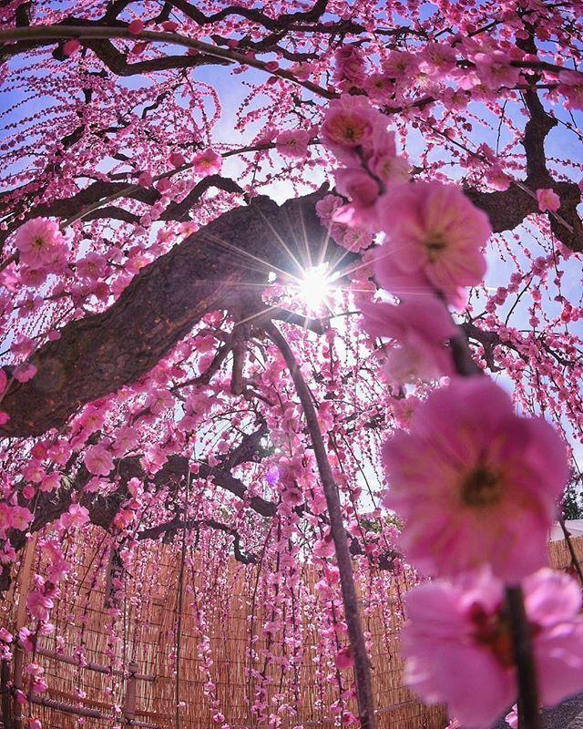 A sakura ősidők óta a japán kultúra része, így a képzőművészetekben, az irodalomban és költészetben is újra meg újra előkerül.