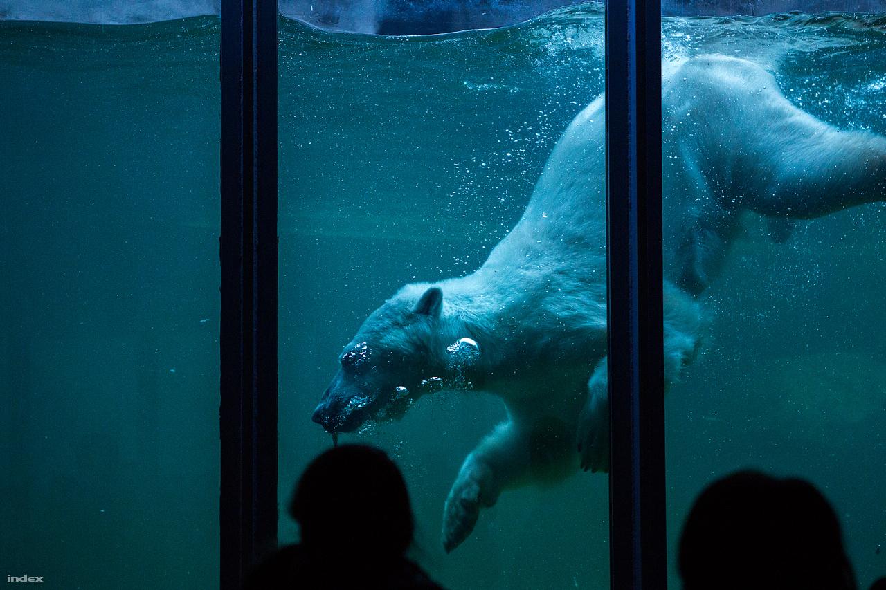 """Jegesmedvék már az 1800-as évek végén is éltek a Budapesti Állatkertben. Nagyon nehezen tudták őket szaporodásra bírni, csak 1933-ban született meg az első életben maradt jegesmedvebocs, ami világviszonylatban is jelentős esemény volt. Mivel a természetben az anyamedve beássa magát a hóba, ahol csöndben és sötétben tölt hosszú hónapokat, a gondozók rájöttek, hogy biztosítani kell a nösténynek a szükséges intimitást. Ezért egy sötét """"szülőszobát"""" alakítottak ki, ahol az ajtót se nyitották rá a vemhes állatra. A trükk bevált."""