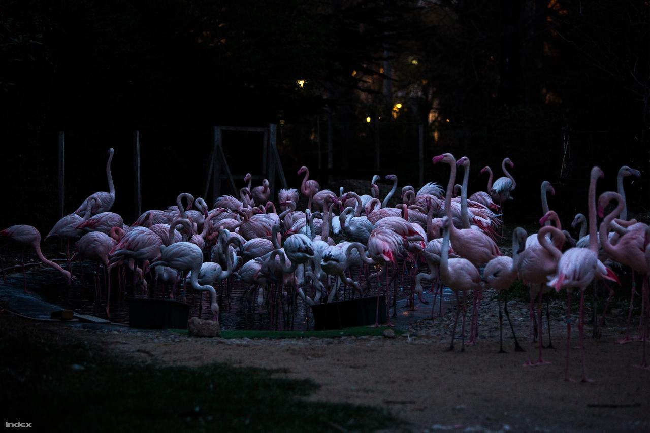 A flamingók a természetben az alfa- és béta-karotinban gazdag apró rákok elfogyasztásától lesznek rózsaszínek. Az állatkerti társaik étrendjét a pirospaprika előállításának egy melléktermékével színesítik, így lehetnek ők is rózsaszínek. A flamingók nagy csapatban járják násztáncukat. Régebben kevesebb egyed élt nálunk, így félénkebben is voltak. Az ő párzási kedvüket a furfangos gondozók tükrök felállításával próbálták meg növelni, sikerrel.