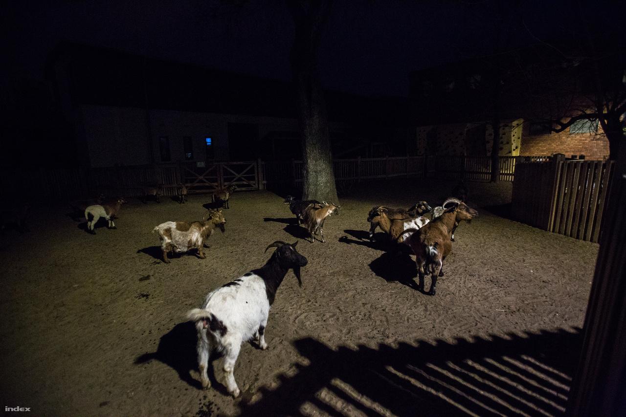 Mit keresnek ezek az egyszerű kecskék az állatkertben? Egy újszülöttnek minden háziállat új, a mai gyerekek közül sokan több oroszlánt láttak az interneten, mint ahány háziállatot élőben. Ez az igény hívta életre az állatkerten belül azt a részt, ahol nem egzotikus állatok, hanem juhok, kecskék, nyulak, disznók és szamarak élnek. A törpekecskék mekegése az egyik legviccesebb hang az állatkertben.