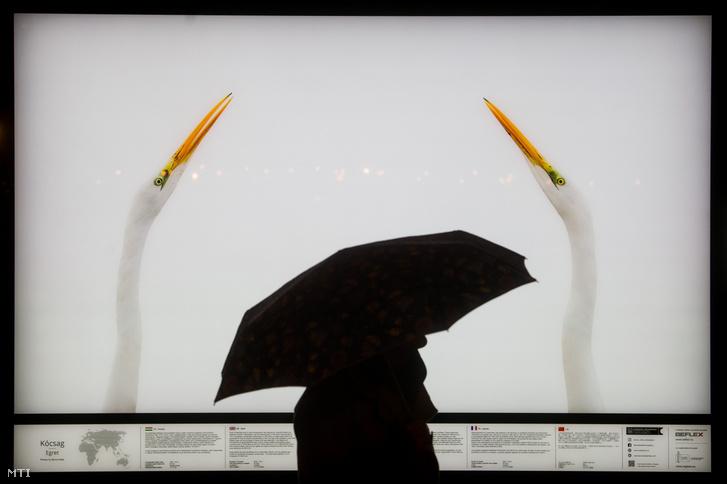 Egy érdeklődő nézi Máté Bence természetfotós egyik képét Budapesten, a Szent István-bazilika előtti téren a szabadtéri kiállítás megnyitója napján
