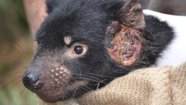 Tasmán ördög pofáján a tumorral