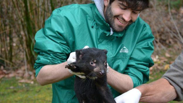 A tasmán ördög természetbe való visszaengedése előtt