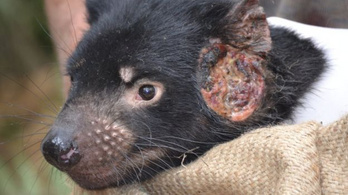 A tasmán ördög együtt tud élni a rákkal