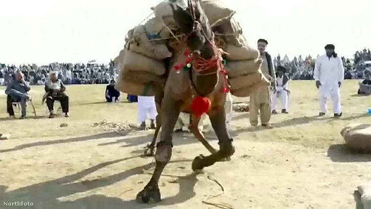 Még épp időben, mielőtt szegény Sheezada Kathreela összeroskad a több mint egy tonnás teher alatt