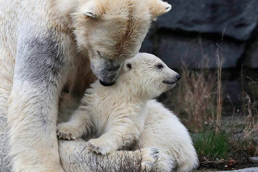 Hertha tavaly december elején született. Anyjával, a kilencéves Tonjával él a Berlin keleti részén lévő állatkertben.