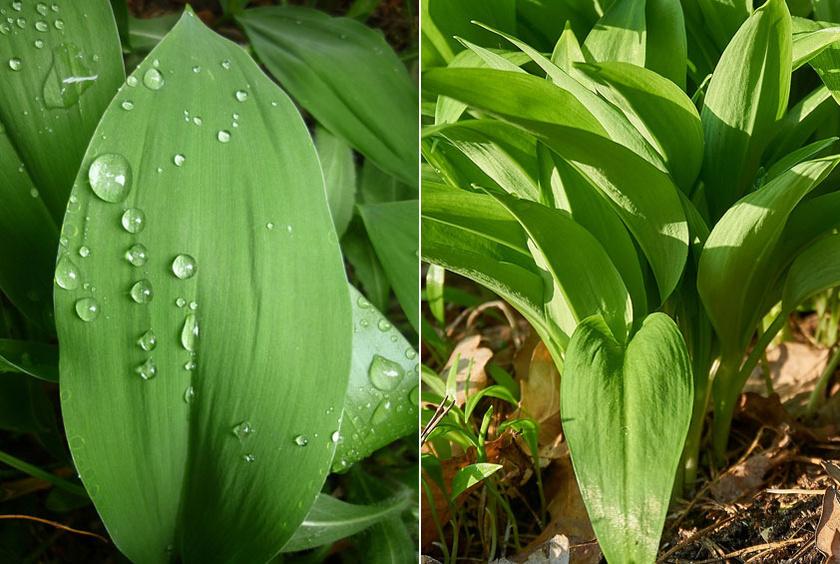 A gyöngyvirág (balra) levelei szélesebbek, a medvehagymáéi (jobbra) pedig erős hagymaillatot árasztanak.