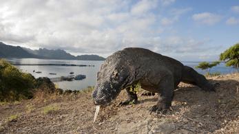 Lezárják Komodo szigetét, mert lopják a sárkányokat