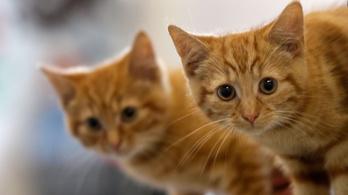 A macskák felismerik a nevüket, csak nem törődnek vele