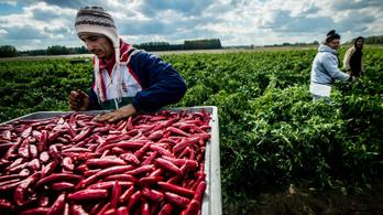 Van esélye a magyar paprikának az olcsó kínaival szemben?