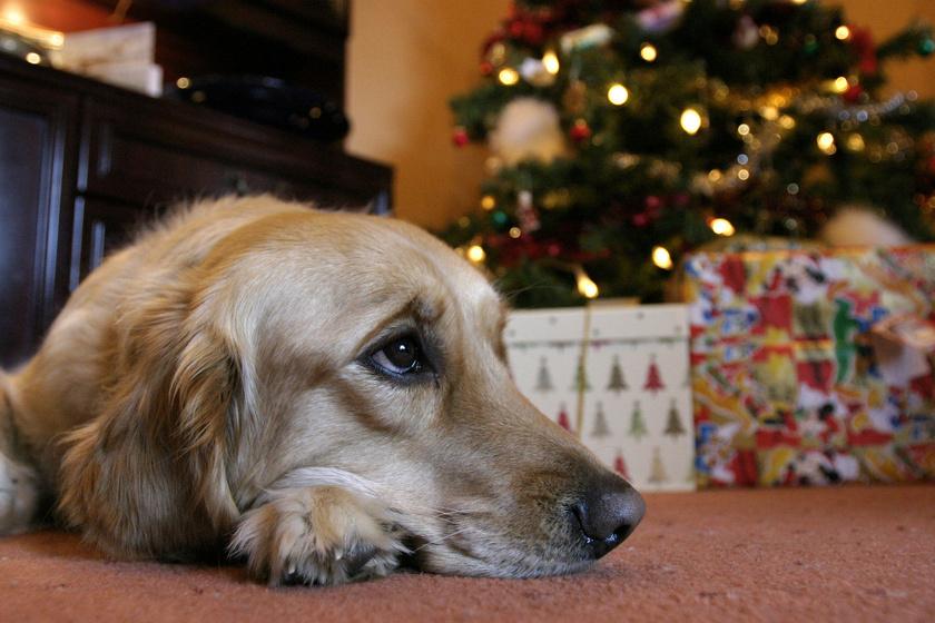 Nem játék, ha a kutya tűlevelet evett: mire ügyelj, és mit tegyél?