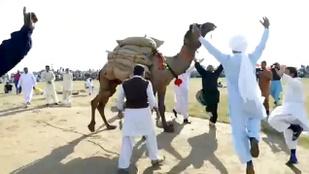 Pakisztánban a tevéket versenyeztetik súlyemelésben