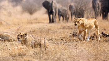 Elefánt taposta el, majd megették az oroszlánok az orvvadászt