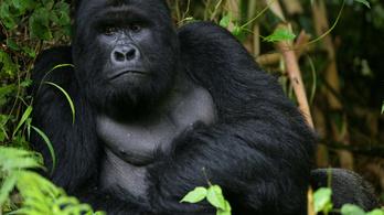 A gorillák órákig virrasztanak halott társuk mellett