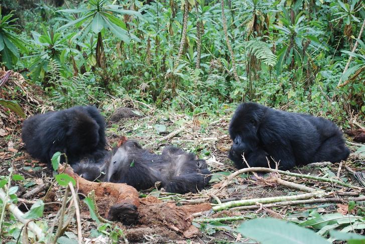 Két hegyi gorilla halott társukkal