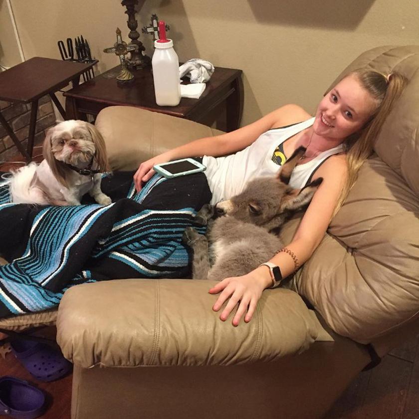 Jack, a szamárkölyök valódi szobacsacsi lett: ideje nagy részét Payton közelében tölti, és gyakran pihennek együtt a fotelben.
