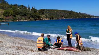 Török hadgyakorlat okozhatta a tömeges delfinpusztulást a görög partoknál