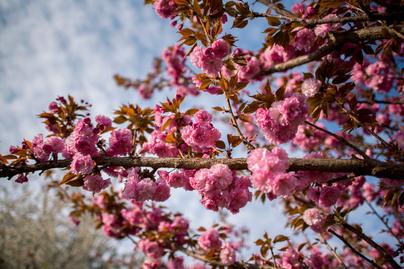 cseresznye-4