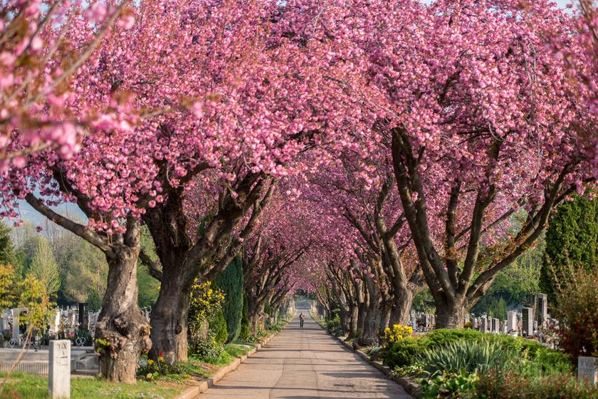 cseresznye-5
