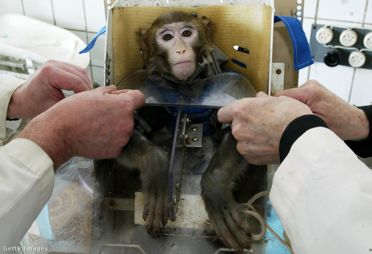 Egy majmon tesztelik az űr életre gyakorolt hatásait Oroszorgszágban 2003-ban.