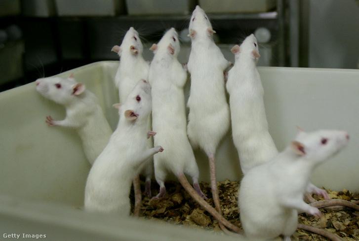 Patkányok egy laboratóriumban