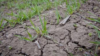Aszály: a kalászos gabona 30 százaléka már kárba is veszhetett