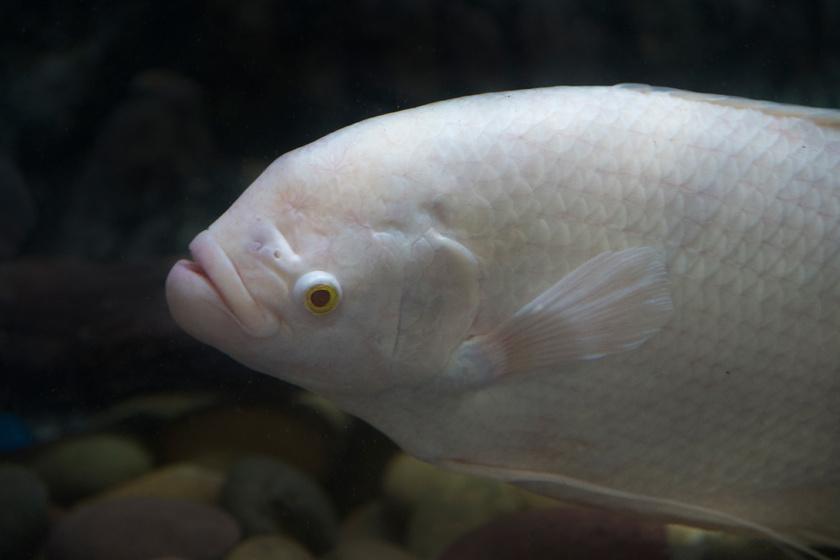 A fiatal óriás gurámi eredetileg zöldes-vörösesbarna színű, felnőtt korára pedig teljesen bebarnul. Ez a példány viszont albinizmussal született.