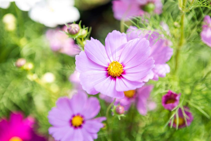 A júliustól szeptemberig virágzó kerti pillangóvirág - Cosmos bipinnatus - alacsonyabb fajtái dézsában és balkonládákban is jól mutatnak. Kifejezetten kedveli a tűző napot, a sovány talajt, és jól bírja a szárazságot, gondozást alig igényel.