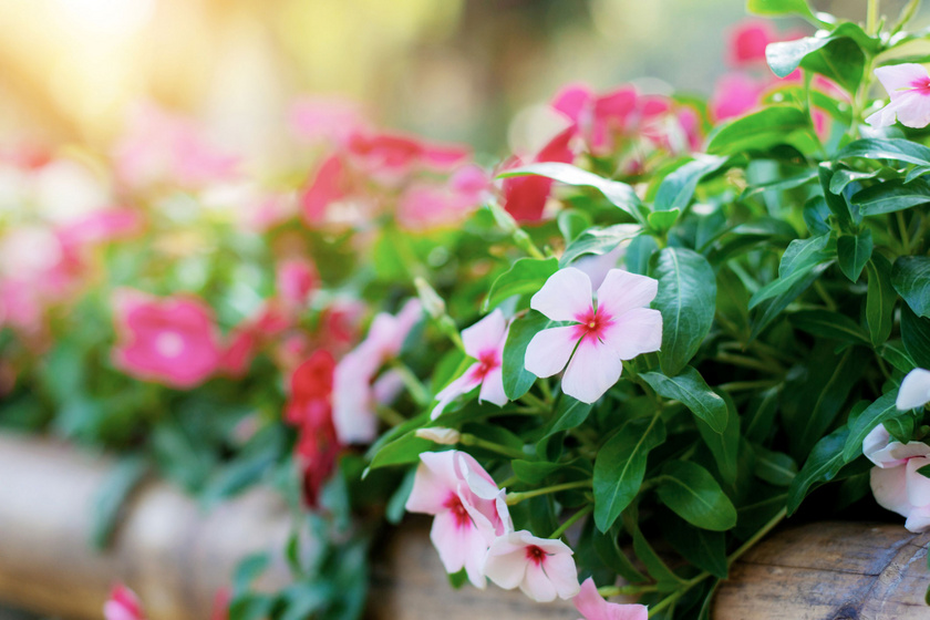 Szárazságtűrő növények a balkonra: 30 °C felett is virítanak - Most népesítsd be velük az erkélyt