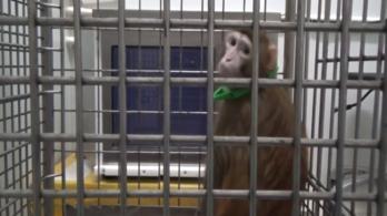 Kínai tudósok emberi géneket ültettek majmok agyába