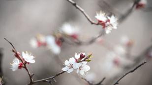 Virágba borultak a barackfák Boldogkőváralján