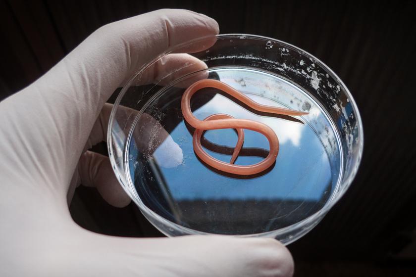 Emberre is veszélyes az agresszív parazita: jelek, hogy megfertőzte a háziállatot