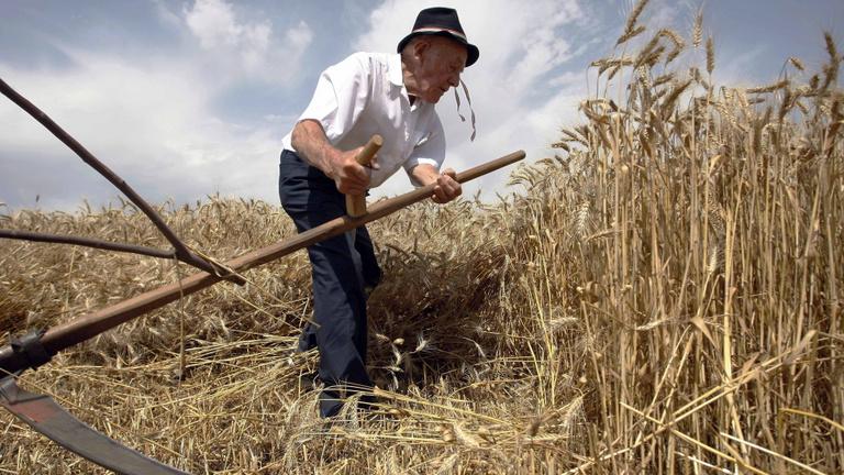 Nem az ősi gabonák fogják megváltani a mezőgazdaságot