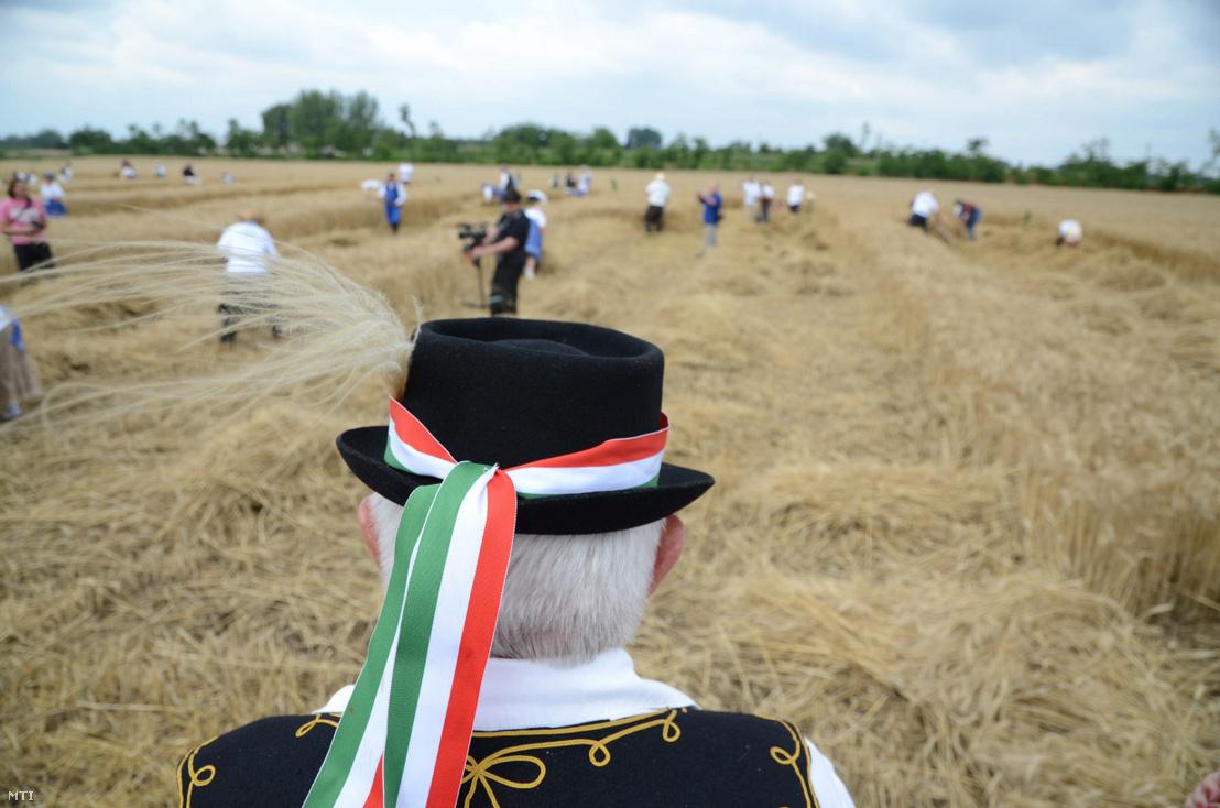 Törökszentmiklós, 2011. július 2.: hagyományőrző figyeli az aratást a XV. Szentmiklósi Napok keretében megrendezett kézikaszás aratóversenyen.