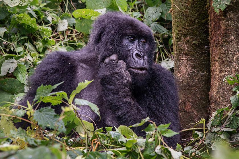 Bár 2018-ban felröppent a hír, miszerint több mint ezerre nőtt a vadon élő hegyi gorillák száma, az IUCN - Természetvédelmi Világszövetség - továbbra is veszélyeztetettként tartja számon őket.