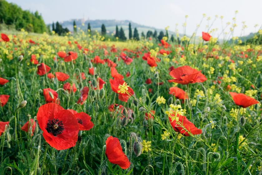 Pipacsot akart szedni, de megpillantott valamit a virágban: alig hitt a szemének