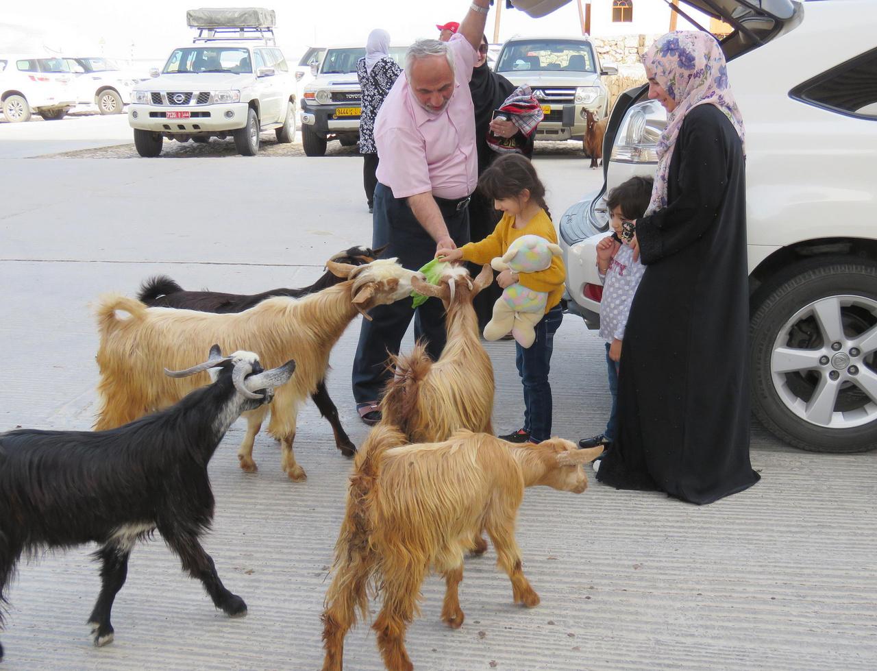 Kéregető kecskék a Wadi Shab tengerparti parkolójában. A család szemlátomást számított rájuk, hiszen hoztak nekik friss salátaleveleket.