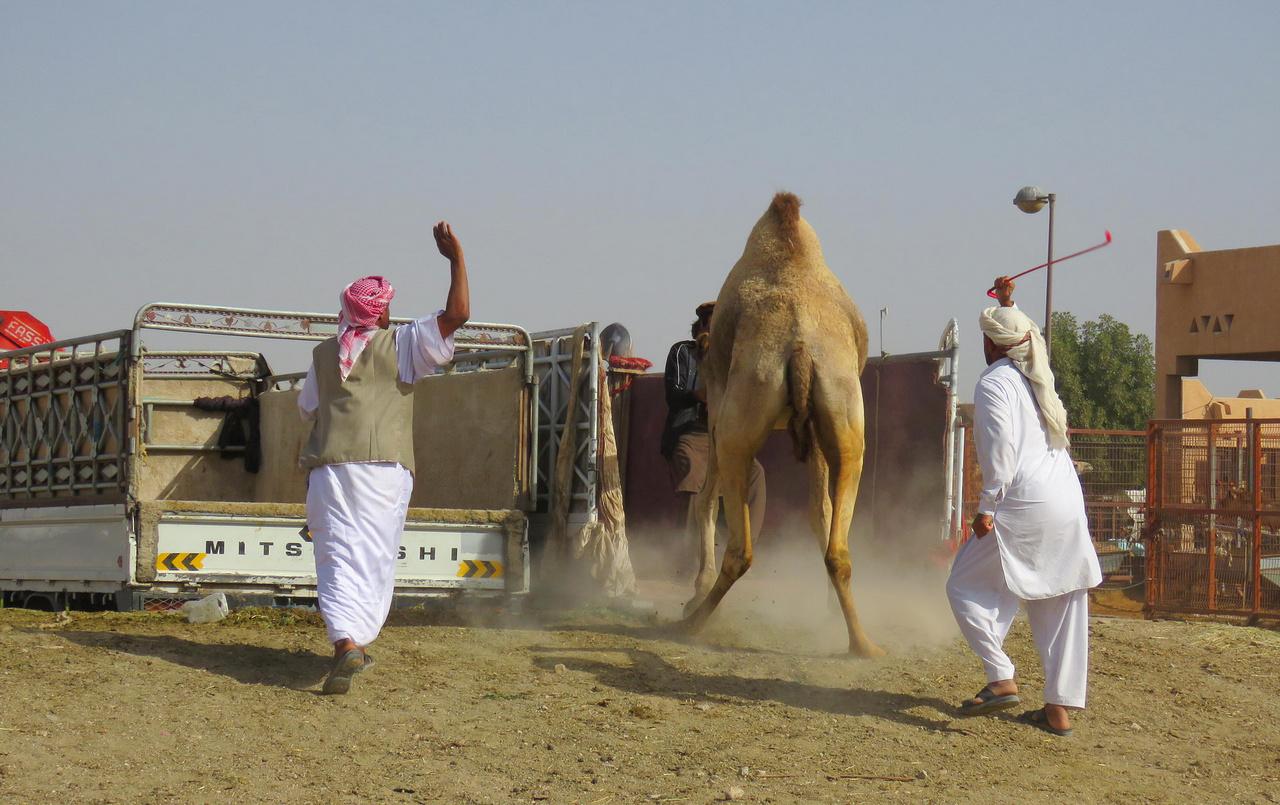 Nem igazán akar új gazdáihoz költözni ez a tétova teve, de, mint látjuk, vannak a meggyőzésnek eszközei. Az Al Ain-i híres tevepiacon vagyunk, immár ismét az Egyesült Arab Emírségekben. A tevék mellett kecskéket és juhokat is árulnak itt, és ha valaki egy egész nyájat akar venni, annak sincs akadálya, a kínálat bőséges.