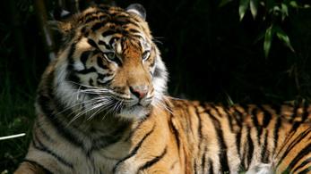 Átnyúlt a tigrisketrec rácsán, hogy megsimogassa a ragadozót, az szétmarcangolta a karját