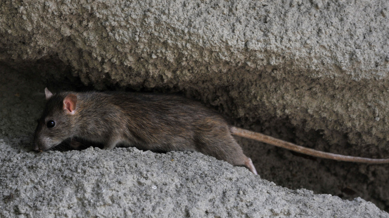 Budapesti patkányhelyzet
