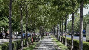 Félszáz fát fognak kivágni a belvárosban, de csak a balesetveszélyeseket