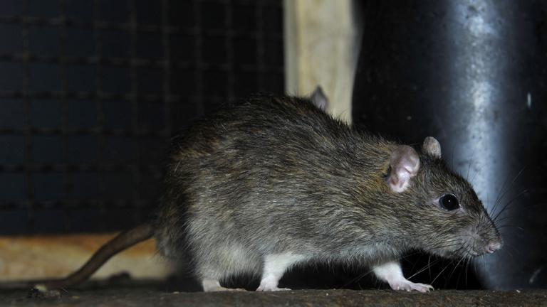 Több fideszes sem ment el megszavazni Tarlósék patkányügyi javaslatát