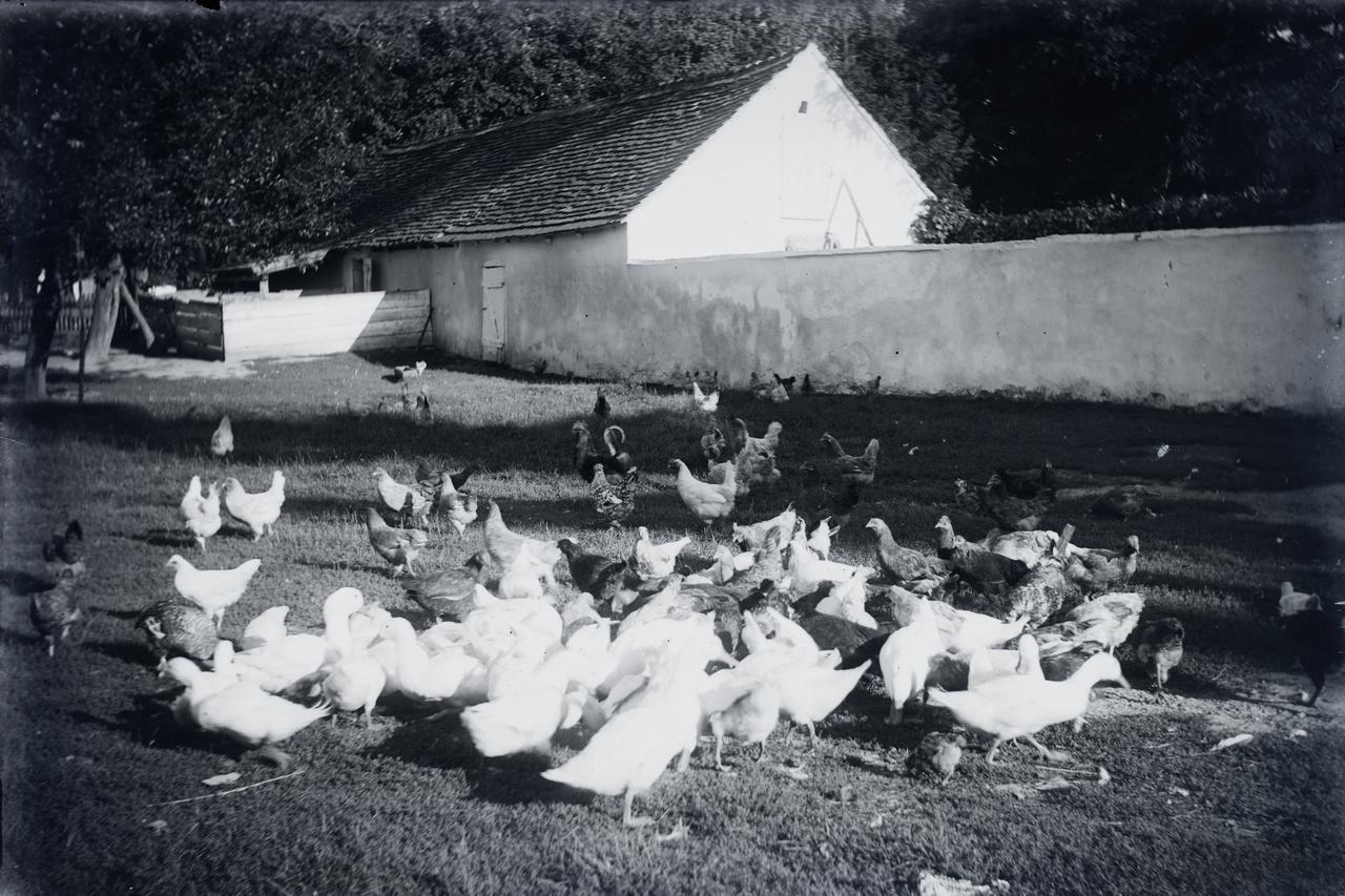 Szárnyasok feltehetően Tóthék udvarán