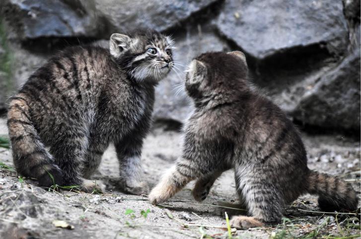 Manülkölykök (manulbébik, manulgyerekek, manulkák, manulcsemeték, kismanulok) a novoszibirszki állatkertben
