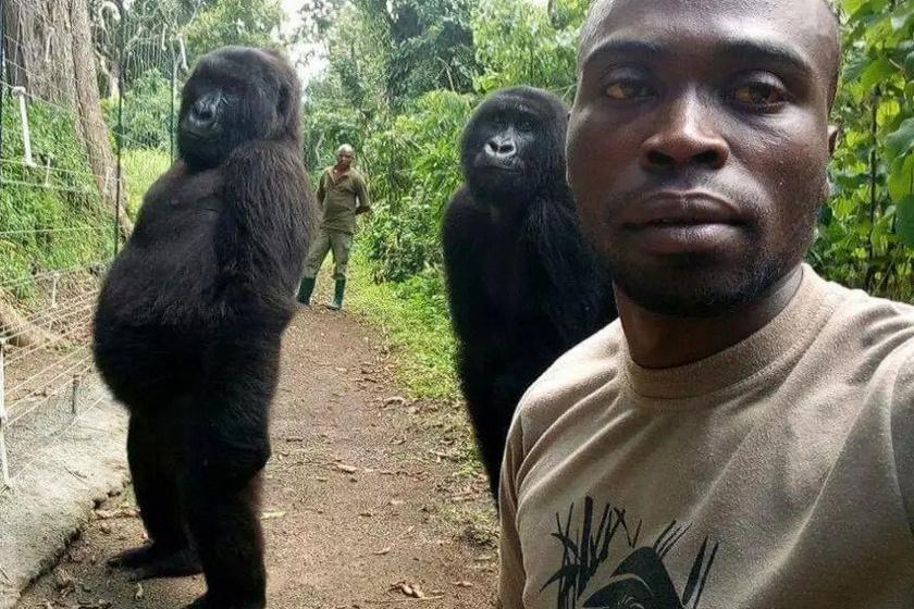 A fotón látható két gorilla több mint tíz éve került az árvaházba, két és négy hónaposan, miután az orvvadászok mindkettőjük anyjával végeztek. A kis gorillák azóta ott nevelkedtek, és gondozóikat figyelve gyakorta utánozzák őket. Például egy szelfi erejéig két lábra is állnak, és úgy pózolnak, mint az emberek.