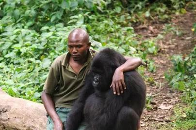 gorilla-ajanlo